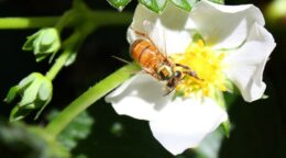 Computer-carrying bees give clues to deadly fungus