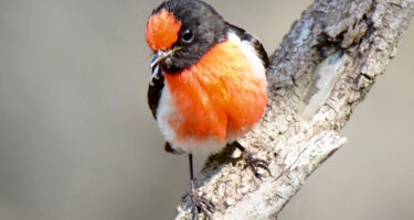 Red-capped robin . Credit: Floyd Holmes