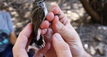 A freed western gerygone .