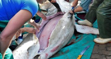 The first incision is made into the shark . Credit: Tomasz Pedlow and Oceans Campus
