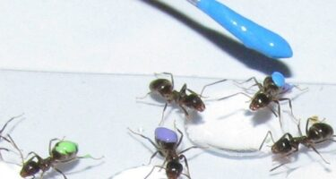Marking ants at the start of the experiment . Credit: Tomer Czaczkes