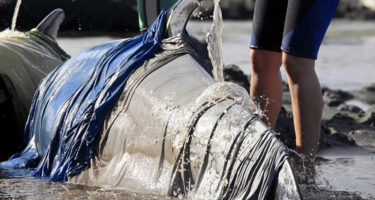 Responders will try to prevent skin loss and drying by covering the cetacean as best they can in wet towels and dousing them with buckets of water . Credit: New Zealand Herald