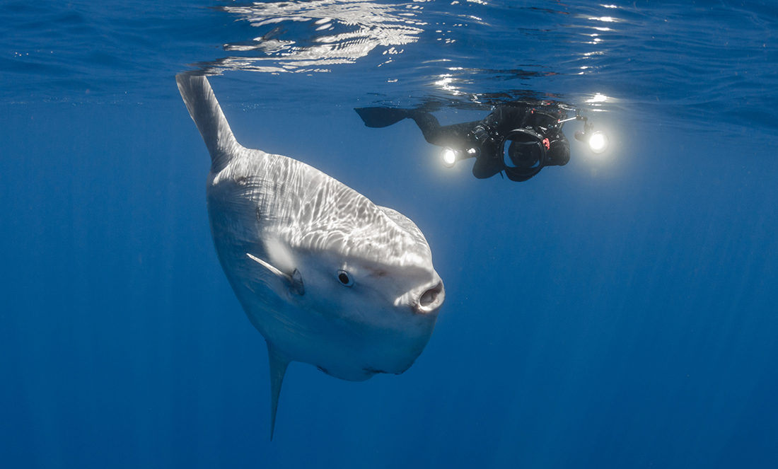 How social media and books about mythical creatures helped WA researcher Marianne Nyegaard discover a new species of sunfish, the world's heaviest bony fish.