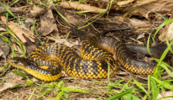 Heavy duty scales: tiger snakes and heavy metal pollution