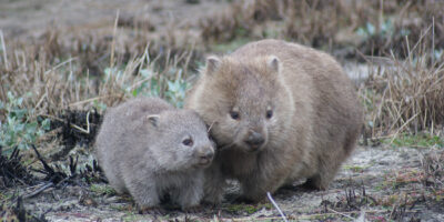 How wombats cube their poo