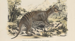 The ongoing mystery of the Tasmanian tiger
